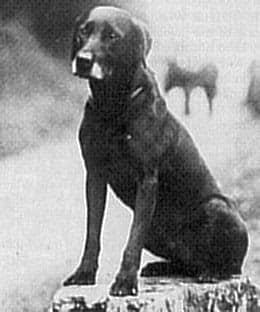 Leistung als Zuchtkriterium  FTCH Balmuto Jock 1926,1928 och 1929 vann han IGL Championship!