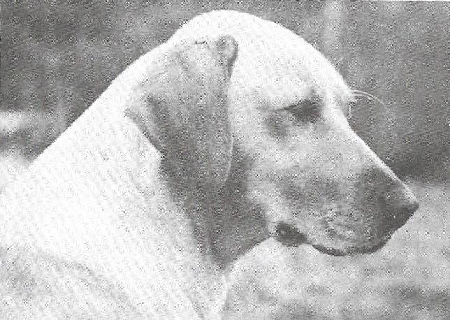 Zelstone Labradors FT CH Zelstone Darter