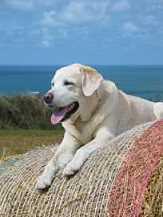 Senioren - Hunde im Alter CH Cornlands Rupertbear